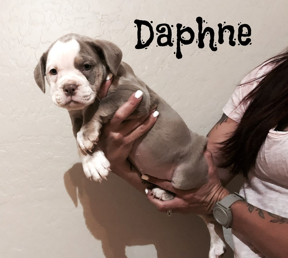 Daphne- Lilac Tri Female $2200 Adopted, Residing in San Tan Valley, AZ.