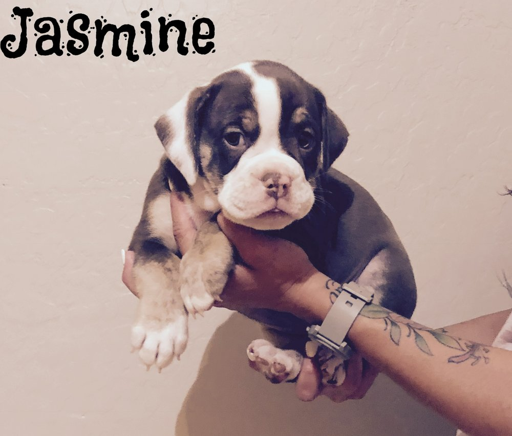 Jasmine- Chocolate Tri Female $1800 Adopted- Residing in Surprise, AZ