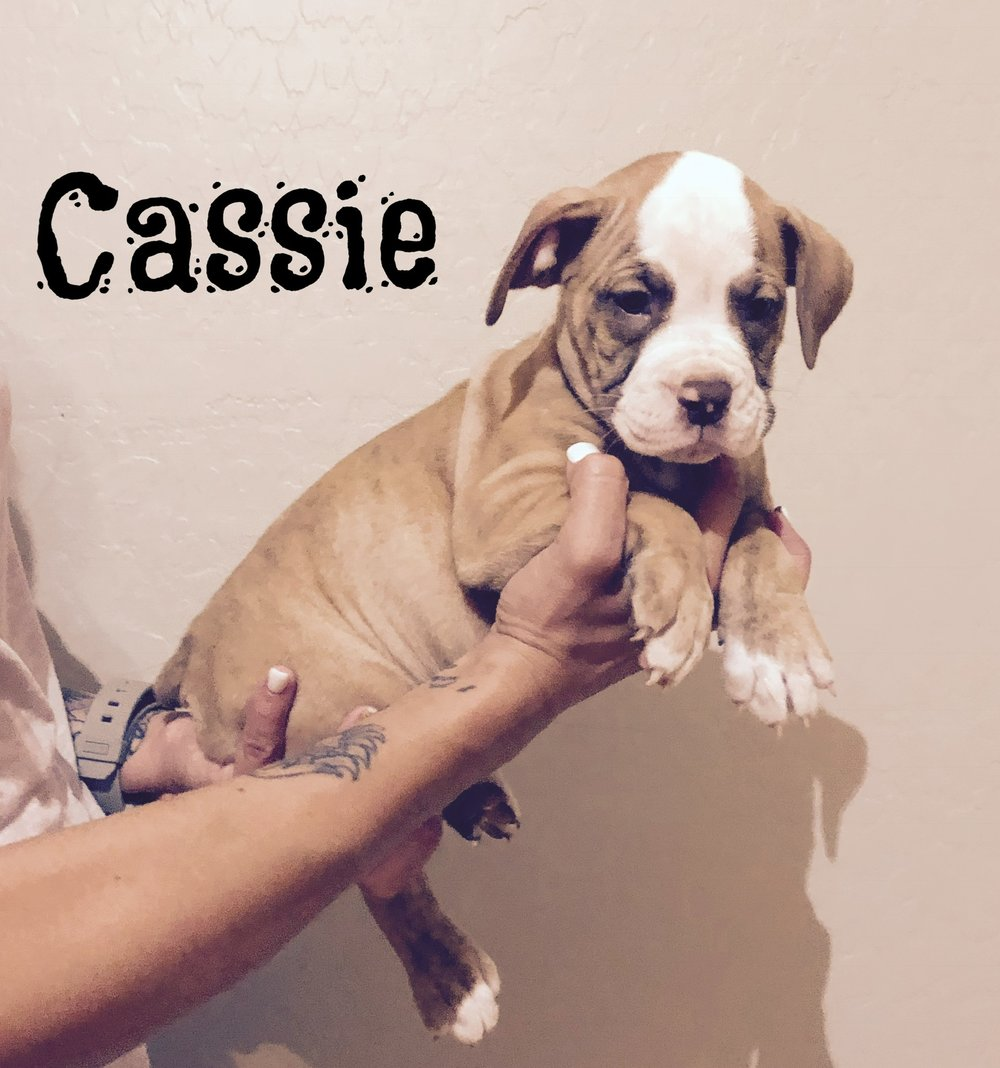Cassie- Chocolate Brindle Female $700- Adopted, will be residing in Chandler, AZ.