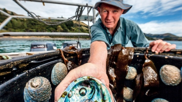 Roger Beattie harvesting Eyris Pearls in Akaroa Harbour. Photo Country Calendar Book
