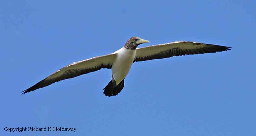 Juvenile Tasman booby ( Sula tasmani ) in flight over Point Howe, northwestern Norfolk Island. In brown boobies ( Sula leucogaster ) the brown extends farther down the breast: the brown is also smaller than the Tasman.