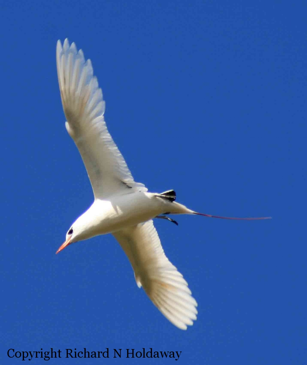A red-tailed tropicbird ( Phaethon rubricauda ) in display flight, Phillip Island, Norfolk Island group.