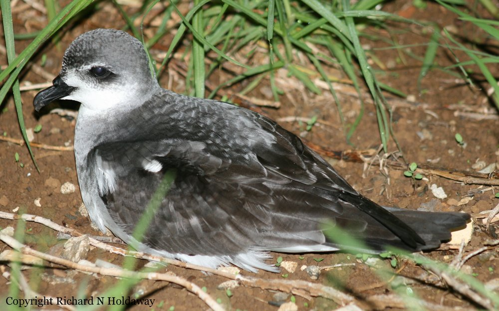 A good fossil record shows that the black-winged petrel ( Pterodroma nigripennis ) was not part of the original seabird fauna of Norfolk Island. Its place was taken by a bird, now extinct, very like Pycroft's petrel ( Pterodroma pycrofti ) of northern New Zealand. In the second half of the 20th century, black-winged petrels started to colonise new areas across the Southwest Pacific, including Norfolk Island, where it is now a common breeder on Phillip Island and increasing on the main island when protected from cat predation.