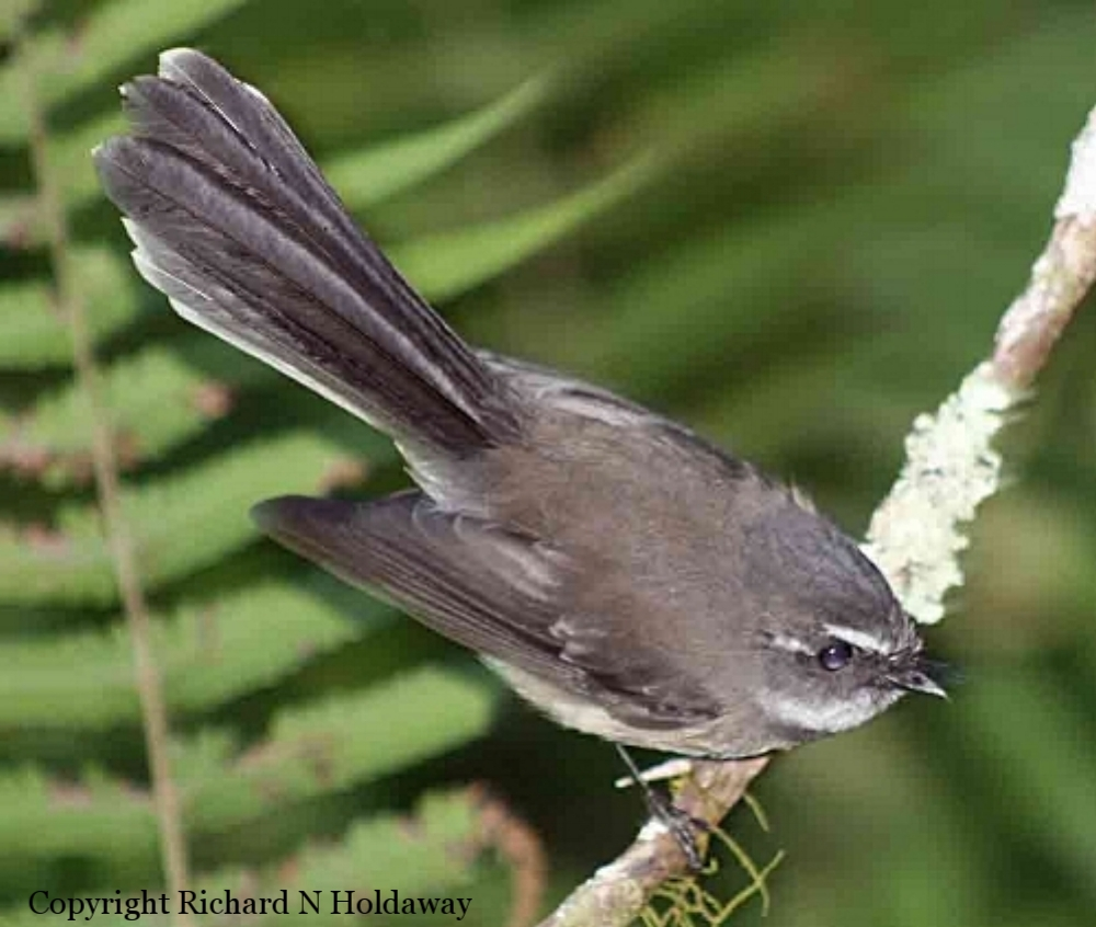 Norfolk Island has its own fan-tailed flycatcher, the grey fantail ( Rhipidura pelzelni ). It is still common over most of the island, in forest and gardens.