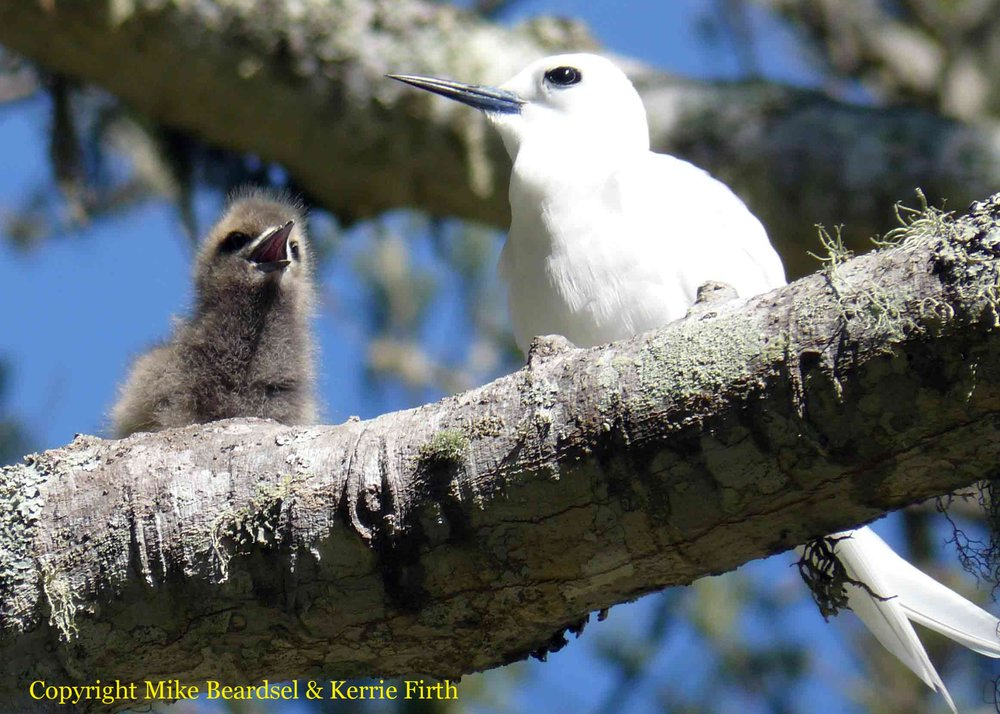 "The white tern ( Gygis alba ) breeds in the remaining Norfolk Island forest and on isolated trees. Its ""nest"" is usually just an irregularity in an horizontal branch. In this seemingly precarious position, the adults successfully incubate the single egg and the chick is fed on small fish until it is able to fly. The egg and chick are vulnerable to introduced rats and cats, and now to predation by the self-introduced white-faced heron."