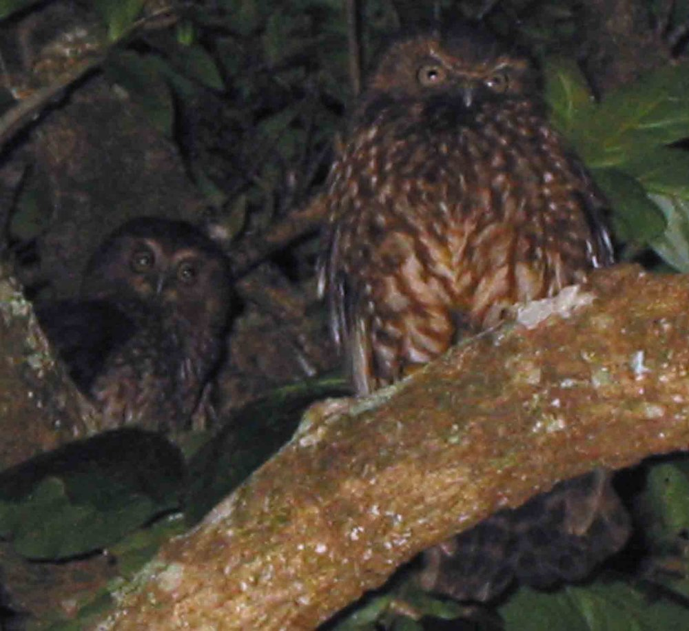 The endemic Norfolk Island subspecies ( Ninox novaeseelandiae undulata ) of the widespread boobook or morepork owl went extinct as a pure population between 1978 and 2005. The last surviving female was joined by two males of the New Zealand subspecies. These are two birds of the hybrid population which is now widespread in the remaining forest.