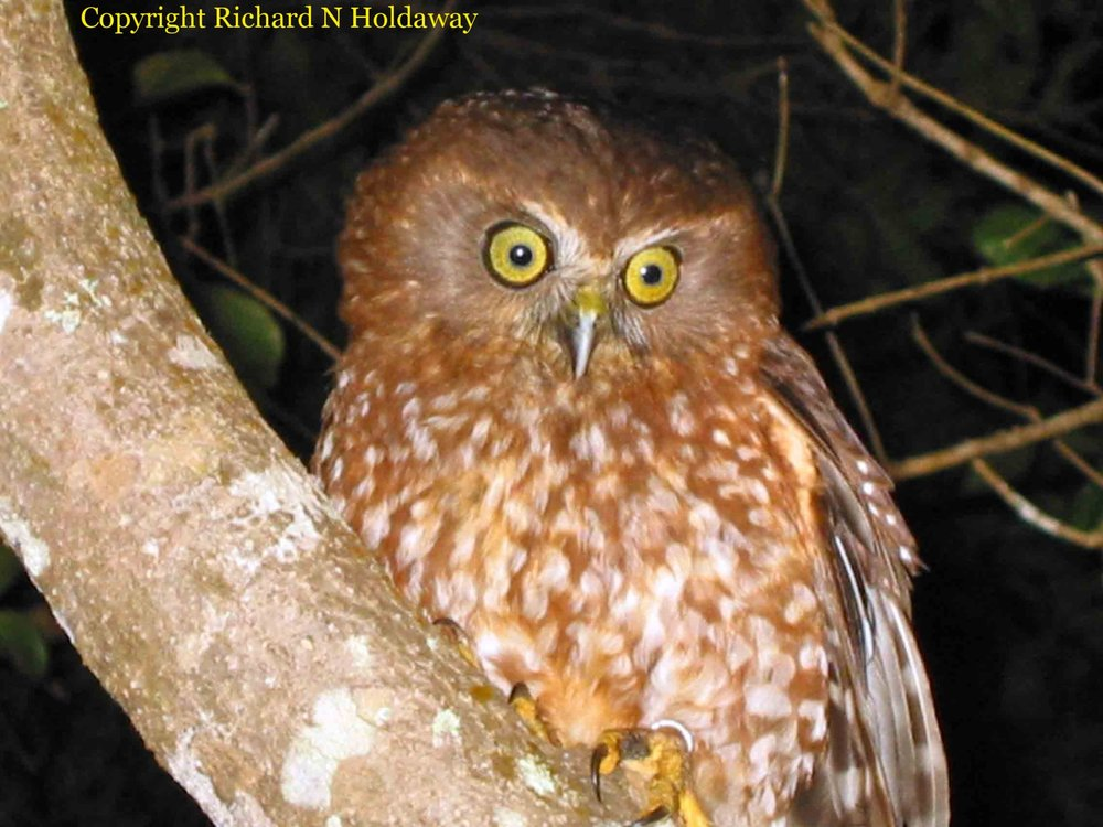 The endemic Norfolk Island subspecies ( Ninox novaeseelandiae undulata ) of the widespread boobook or morepork owl went extinct as a pure population between 1978 and 2005. The last surviving female was joined by two males of the New Zealand subspecies, and the hybrid population, of which this bird is an example, is now widespread in the remaining forest.