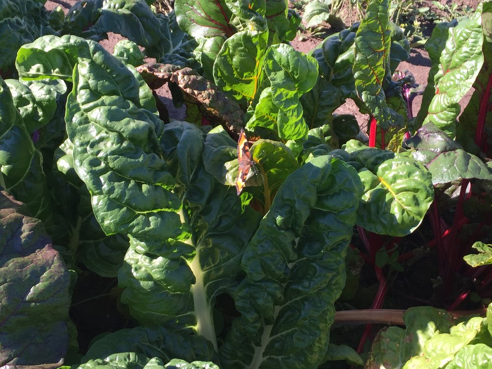 Chard for the coop