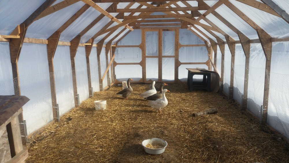 The geese in their winter home