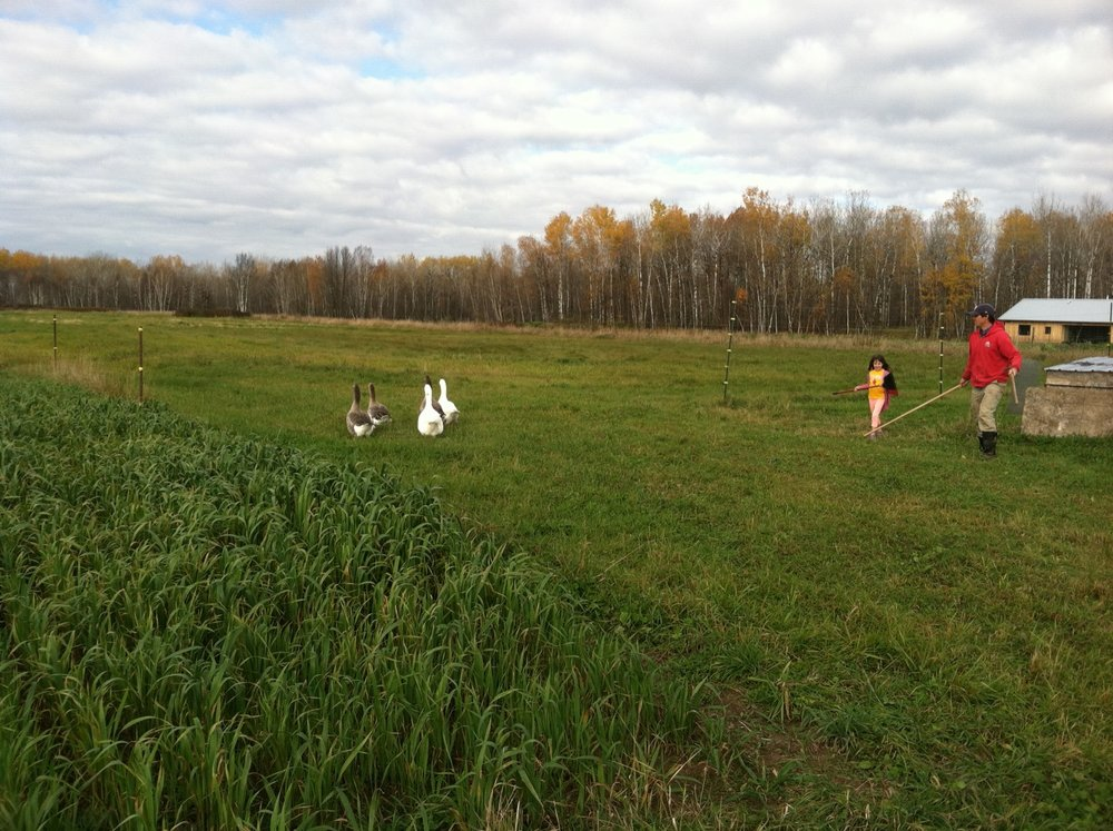 Moving the geese to their winter home