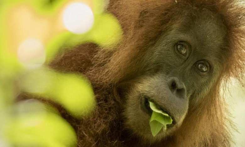 Image 2: The newly discovered Tapanuli orangutan faces threat of extinction soon after its discovery. With just 800 individuals in the wild it is the rarest and most endangered great ape species. [Photo: Maxime Aliaga]