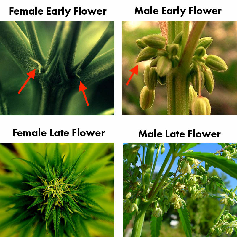 Male vs Female Cannabis Plants (Click to Enlarge)