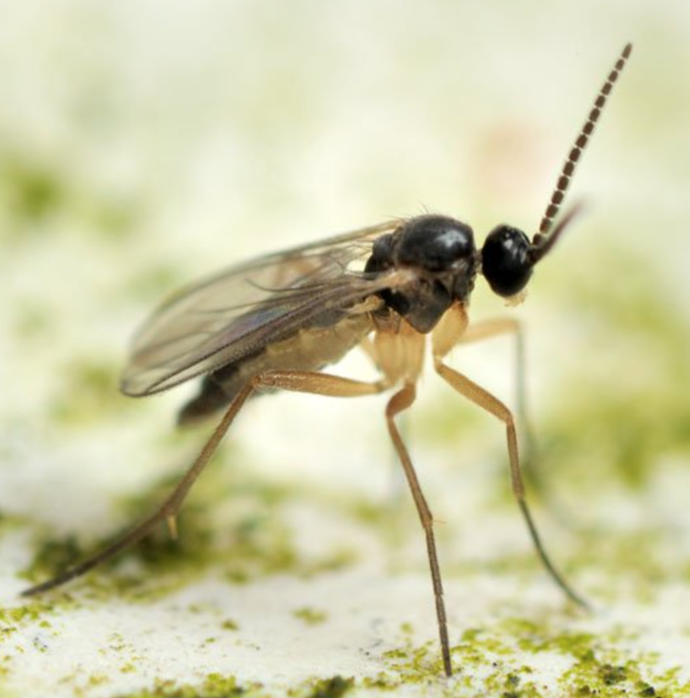Fungus Gnat up close