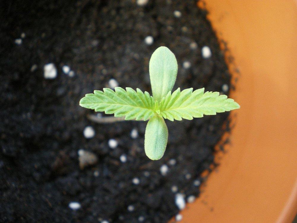 1280px-Cannabis_Baby.jpg