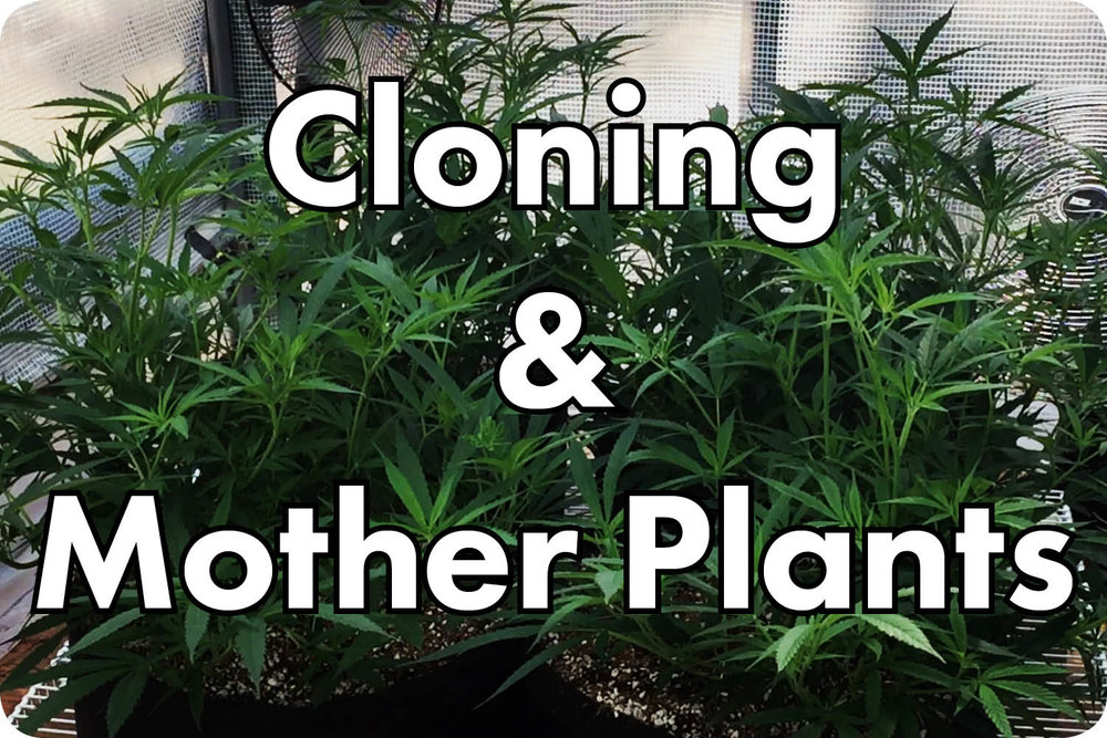 cloning and mother plants