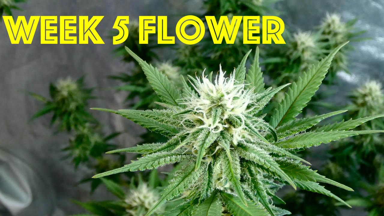Limoncello Haze Week 4 Of Flower Greenbox Grown