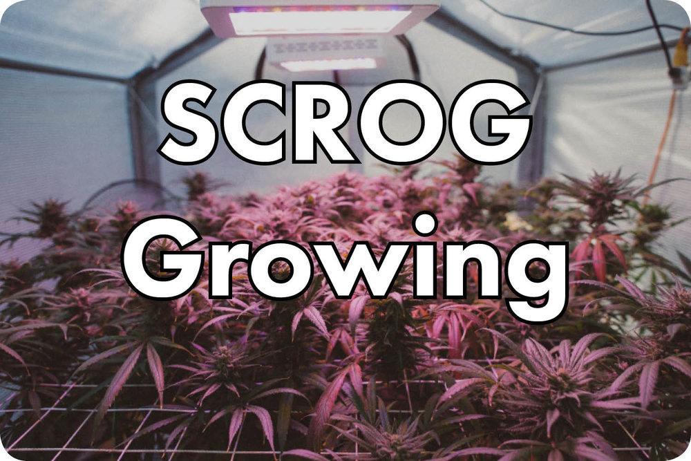 SCROG+Grow+Videos.jpg
