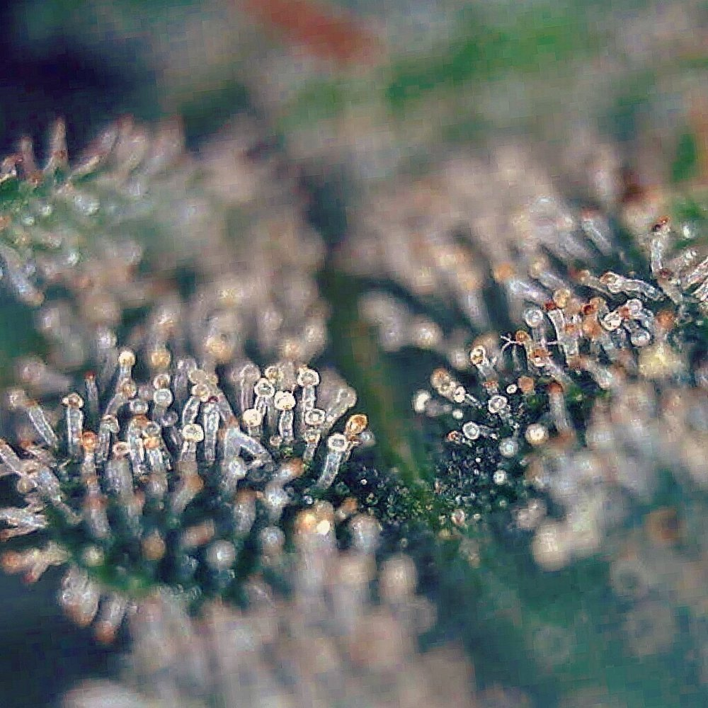 Trichomes are amber, indicating they have reached full maturity.