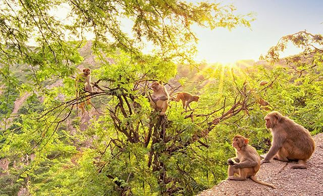 """ J u n g l e  o f  L i g h t "" . I awoke around four in the morning to move through the traffic of Jaipur, India to reach Galtiji Monkey Temple by dawn. After meditating with the sunrise, I came across this tribe of monkeys, so I tuned in for awhile, feeling their playfulness & awareness, watching them leaping, curling, bathing in the light. Then I captured a single photo. . I used my wide-angle 11-17mm lens (& f22 for the sunburst), so I was even closer to the monkeys than it appears. I was a foot or two away from the small one on the wall. I felt their comfortability & that they actually welcomed this being taken. . It's powerful to really sit with a moment, deeply, to ask what it has to share & wait for the space when it doesn't even feel as though you are the one creating the image or clicking the shutter. Photography can be an invitation to get lost even more in the now, to feel deeper presence in each moment, to notice what might otherwise go unseen. Rather than trying to create a perfect shot, I feel we also have this opportunity for the photographer to dissolve, to feel & see so deeply the moment itself... all that's left is the witness to a glimpse of perfection. . Link in bio for purchase details & more photos or http://www.thebarefootprint.com/store/jungle-of-light 💛"