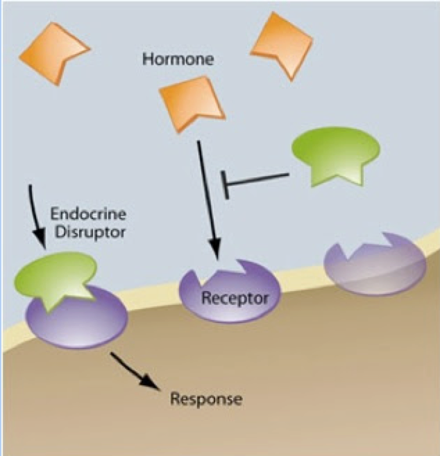 Illustration of EDCs disrupting hormones.