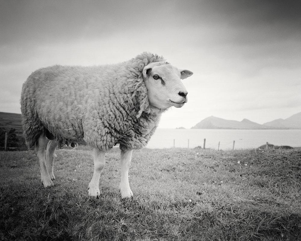 "Bucky the Sheep, Ireland 2014 - Limited Edition Gelatin Silver Print No.: 11582  40 x 50cm (15.8 x 19.7"") ,  Edition of 9 60 x 75cm (23.6 x 29.5"") ,  Edition of 9 80 x 100cm (31.5 x 39.4"") ,  Edition of 7 100 x 125cm (39.4 x 49.2"") ,  Edition of 5"