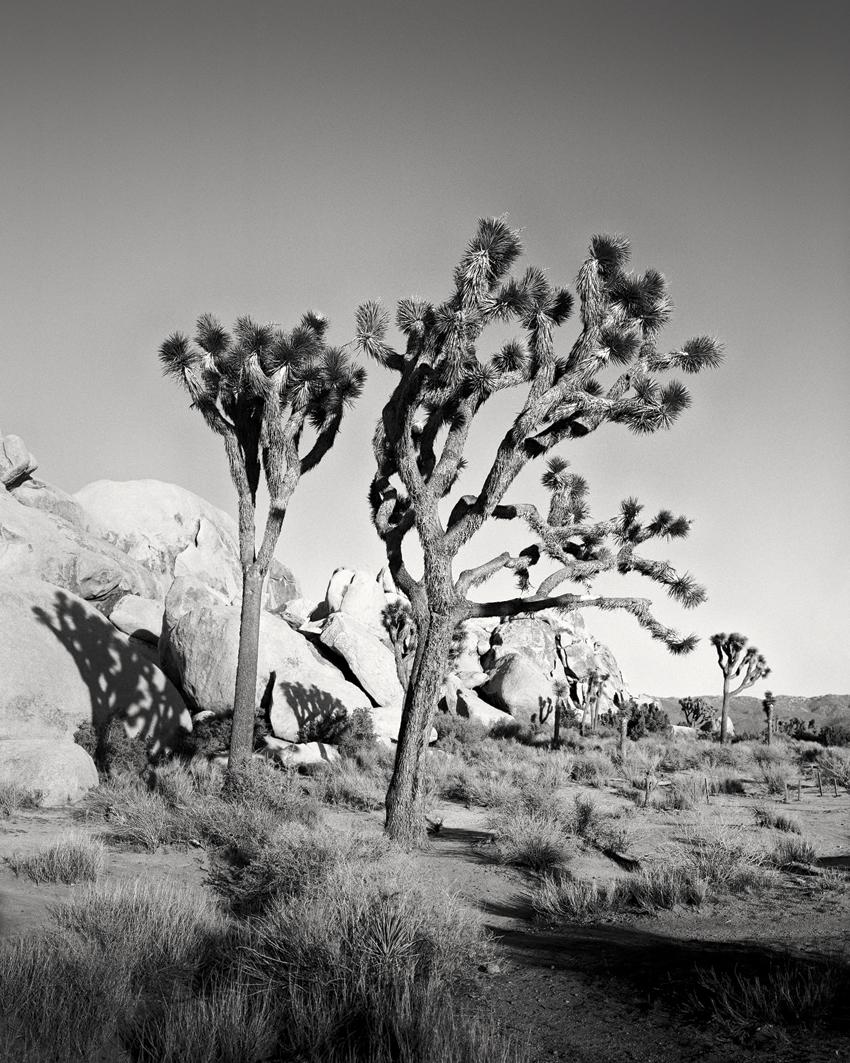 "Joshua Tree Study #2, CA, USA 2015 - Limited Edition Gelatin Silver Print No.: 11897  40 x 50cm (15.8 x 19.7"") ,  Edition of 9 60 x 75cm (23.6 x 29.5"") ,  Edition of 9 80 x 100cm (31.5 x 39.4"") ,  Edition of 7 100 x 125cm (39.4 x 49.2"") ,  Edition of 5"