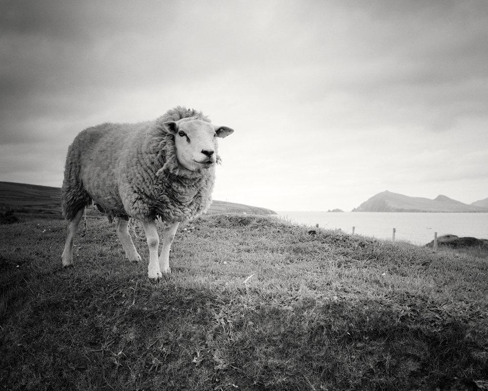 "Bucky the Sheep #2, Ireland 2014 - Limited Edition Gelatin Silver Print No.: 11898  40 x 50cm (15.8 x 19.7"") ,  Edition of 9 60 x 75cm (23.6 x 29.5"") ,  Edition of 9 80 x 100cm (31.5 x 39.4"") ,  Edition of 7 100 x 125cm (39.4 x 49.2"") ,  Edition of 5"