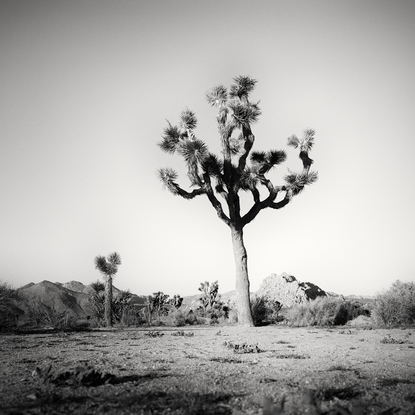 "Joshua Tree Study #3, CA, USA 2015 - Limited Edition Gelatin Silver Print No.: 11931  40 x 40cm (15.8 x 15.8"") ,  Edition of 9 60 x 60cm (23.6 x 23.6"") ,  Edition of 9 80 x 80cm (31.5 x 31.5"") ,  Edition of 7 100 x 100cm (39.4 x 39.4"") ,  Edition of 5"
