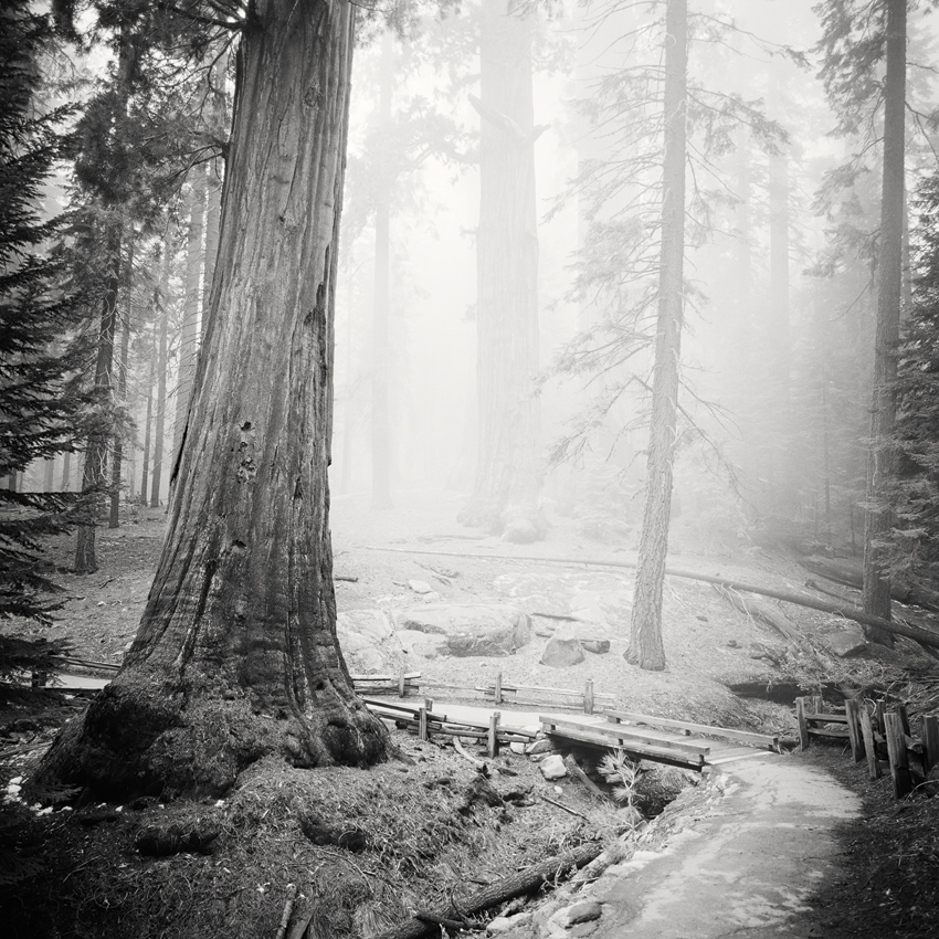 "Redwood Study #2, CA, USA 2015 - Limited Edition Gelatin Silver Print No.: 11665  40 x 40cm (15.8 x 15.8"") ,  Edition of 9 60 x 60cm (23.6 x 23.6"") ,  Edition of 9 80 x 80cm (31.5 x 31.5"") ,  Edition of 7 100 x 100cm (39.4 x 39.4"") ,  Edition of 5"