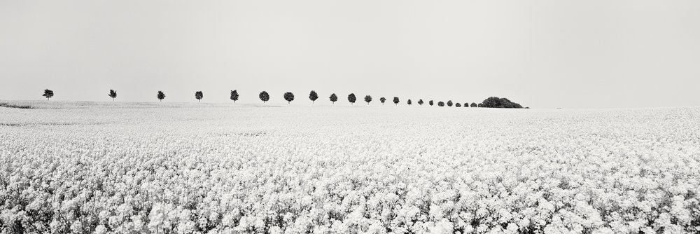 Brassica Napus Panorama Study #1, France 2018 - No.: 11982  Toned gelatin silver print, hand signed, dated and numbered 40x120cm, edition of 9 50x150cm, edition of 9 60x180cm, edition of 7 80x240cm, edition of 5
