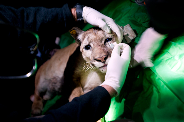 Mountain Lion Tagging