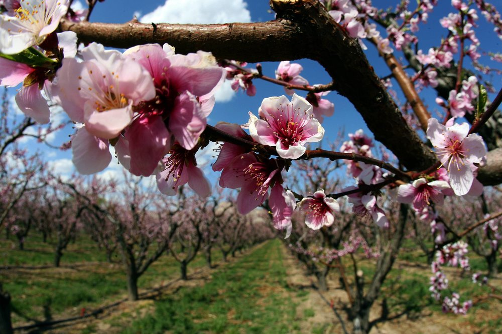 Spring peach blossoms on the Western Slope // Image: Grand Junction Visitor and Convention Bureau