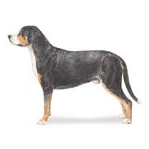 American Kennel Club Greater Swiss Mountain Dog pages