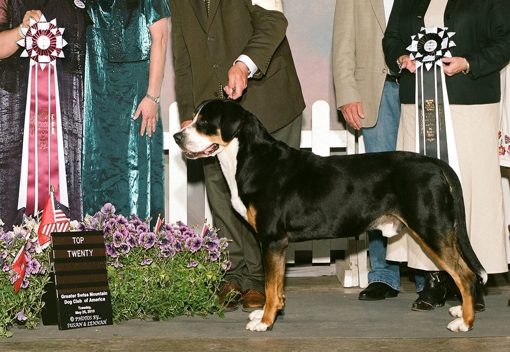 greater swiss mountain dog club of america - 1000×691