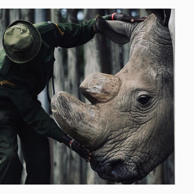 Rest In Peace Sudan -he last male northern white rhino, has passed. Our hearts are filled with sadness. We're seeing the extinction of the northern white rhino happen before our eyes - how did we let this happen? This a a very grave lesson for humanity to learn from, but I hope we do. 🌹🦏 #sudanforever #rip #rhinoconservation #rhino #africa #kenya @olpejeta