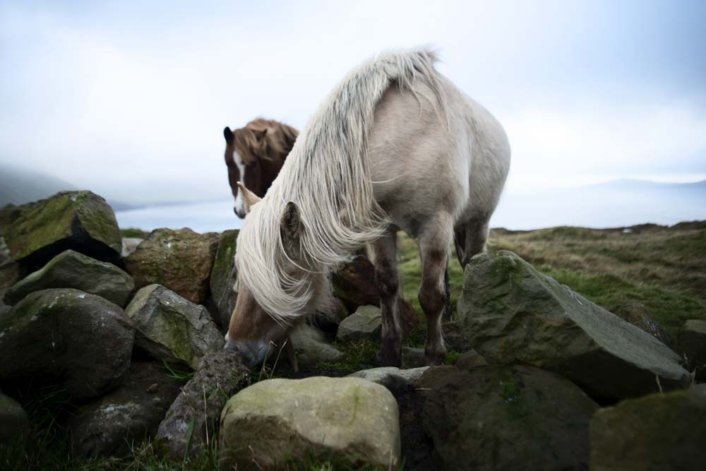 Horses on Faroe