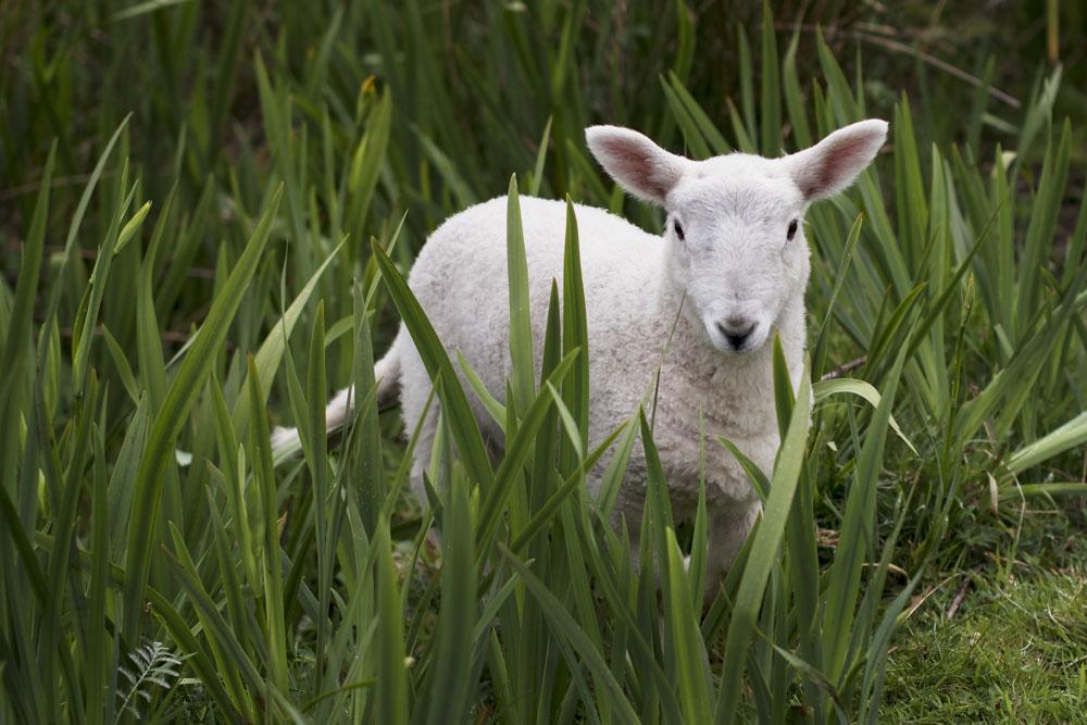 Small lamb