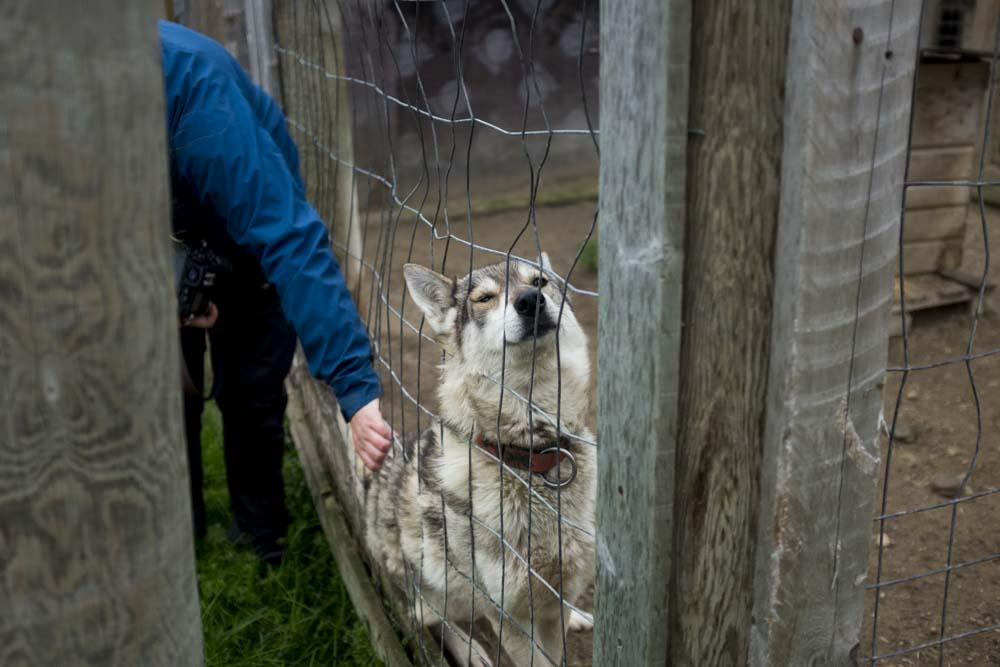 Meeting the huskies