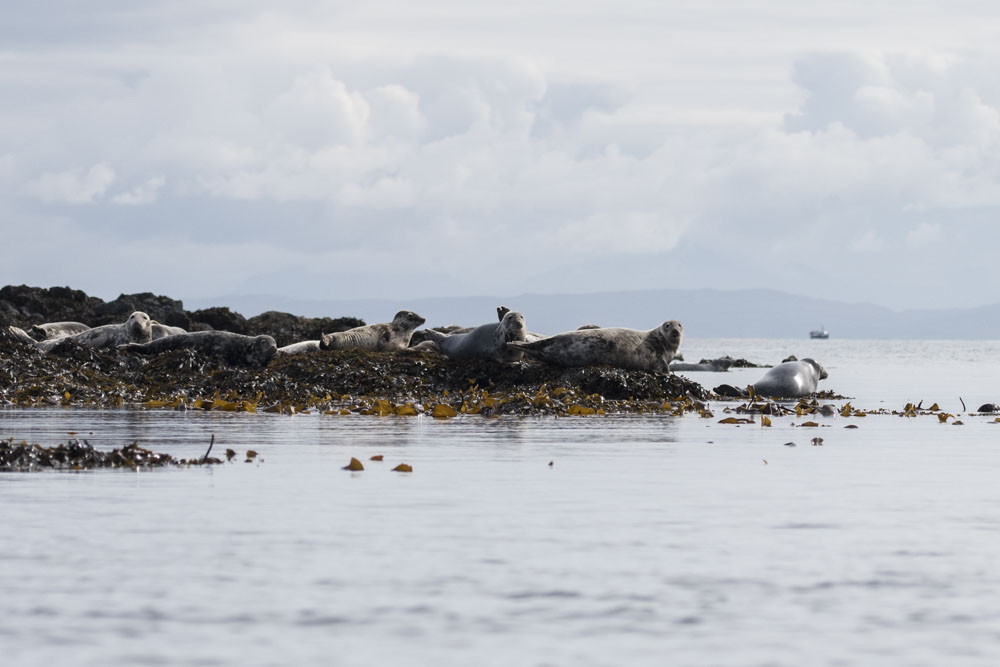 Canna's seal colony