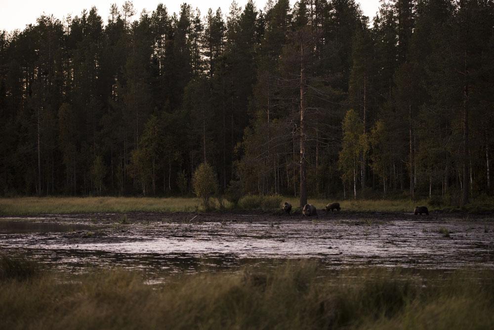 Wild bear mother with three cubs at  Karhu Kuusamo .