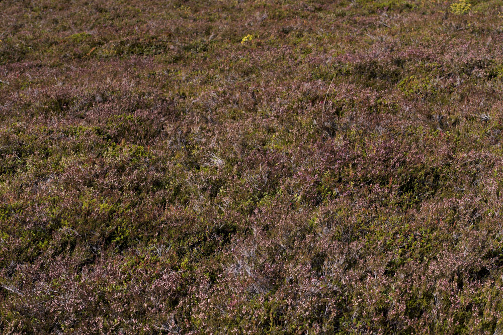 Beautiful pink heather covering the National Park