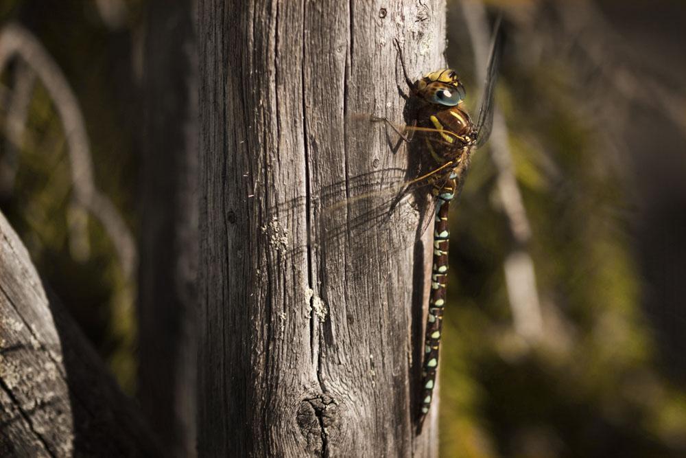 Mark's Dragonfly photo