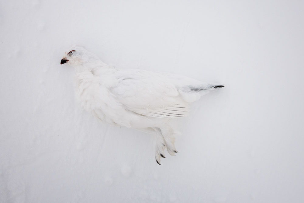 Hunting for ptarmigan