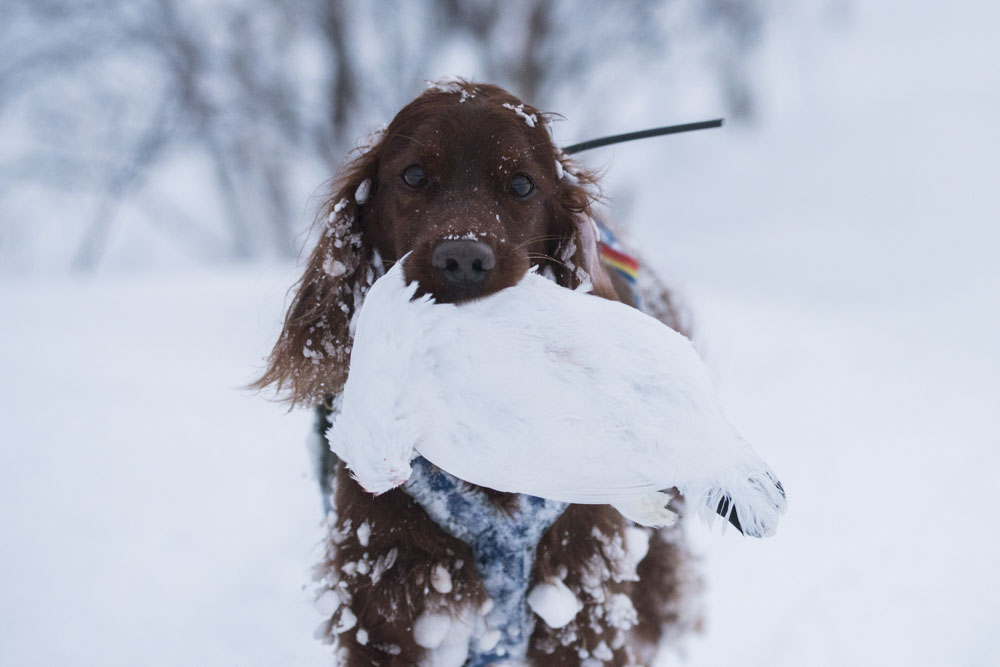 Dog picking up dead ptarmigan