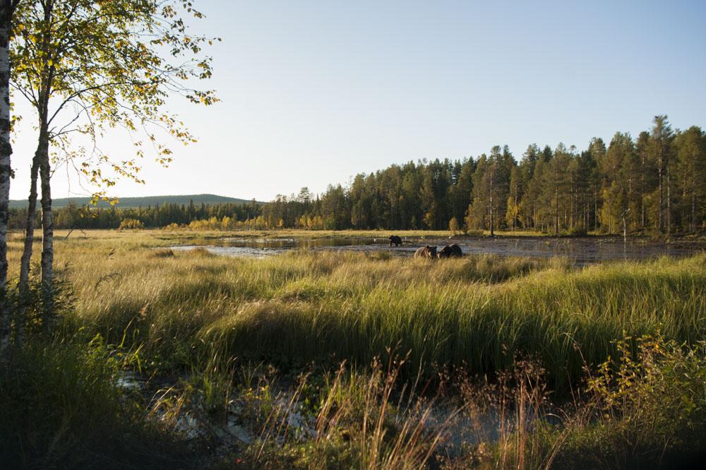 Wild bears in Finland