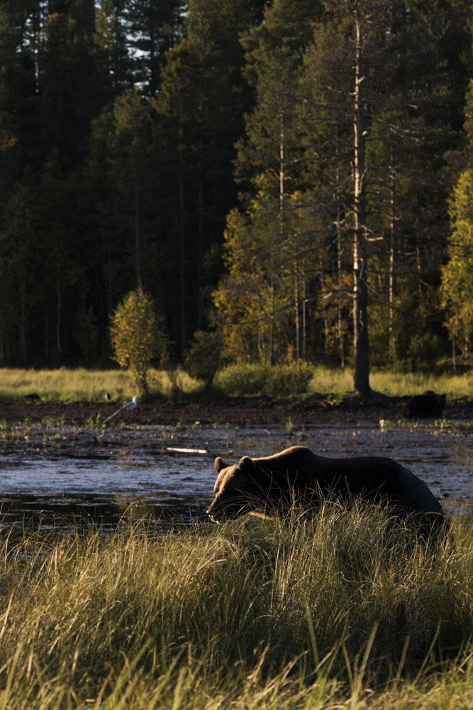 Wild bear at  Karhu Kuusamo during sunset.
