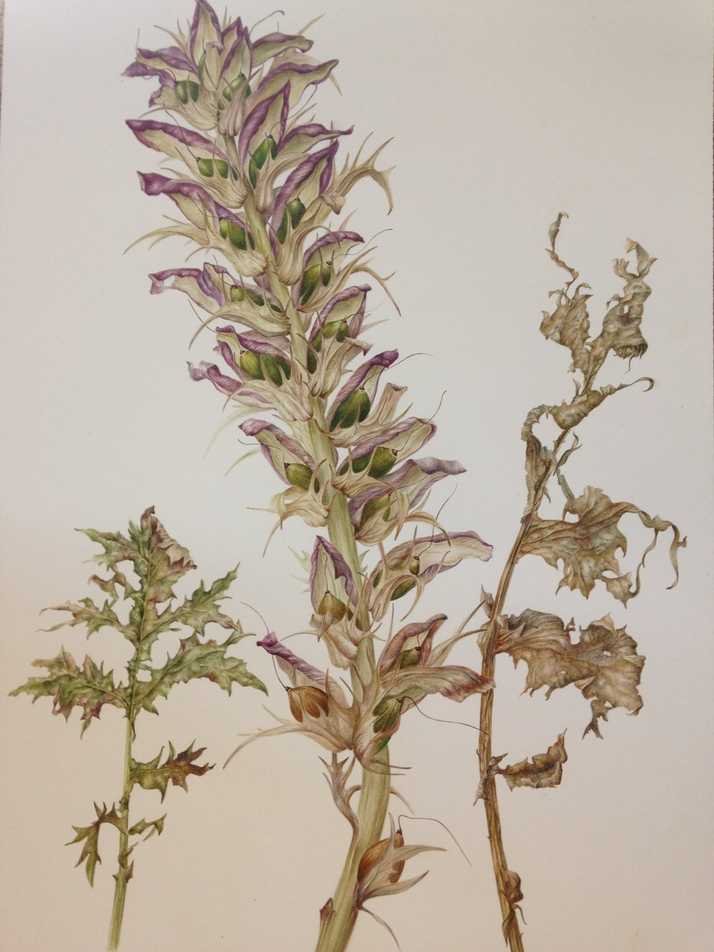 Acanthus Spiosus | 30cm x 40cm Watercolour/ Graphite