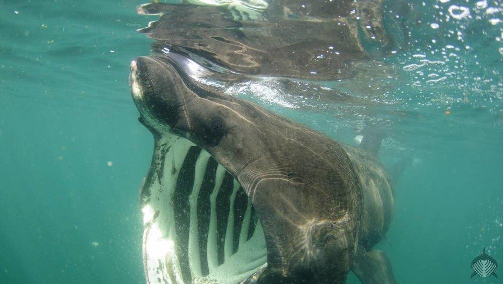 Basking_Sharks_-_Scotland-1_1060_600_70_imageslogontext.png_0_0_30_r_b_-10_-10_s_c1_c_c.jpg