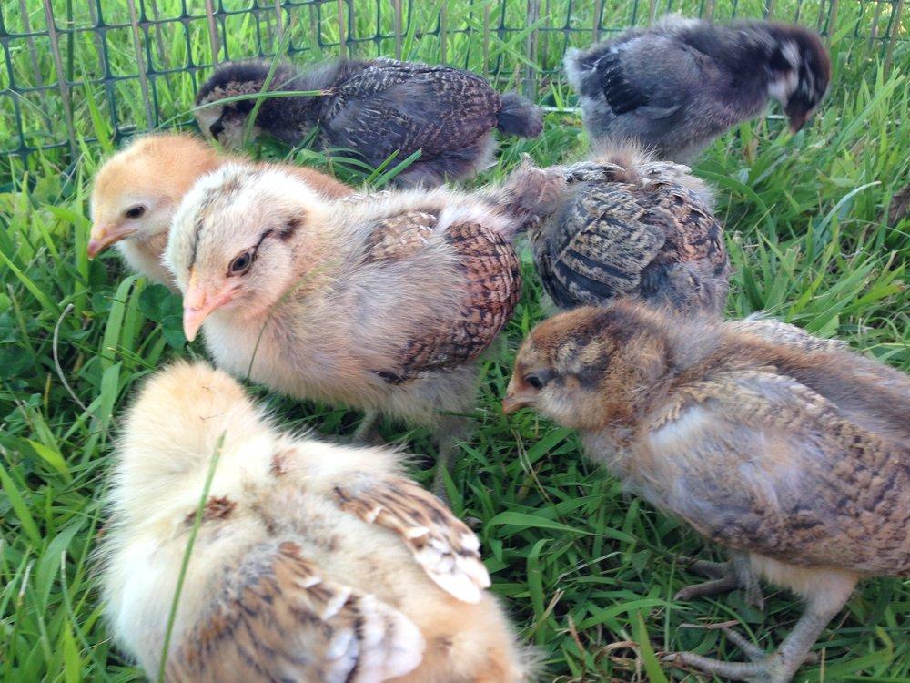 Baby Chicks.JPG