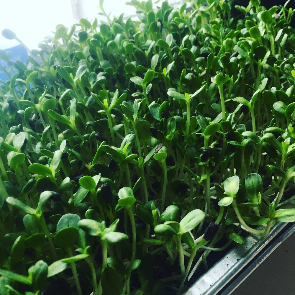 Sunflower Microgreens grown